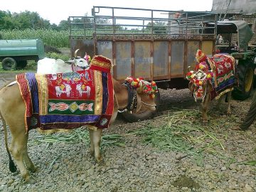 Bulls Beautifully Decorated With Ornaments And Shawls